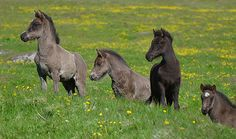 Icelandic Pony Foals