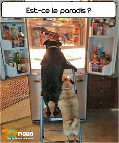 #dogs #pugs #chien #funny #zoomalia