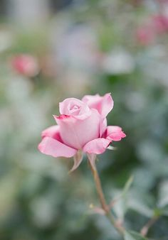 just for you! All Flowers, My Flower, Pretty Flowers, Spring Flowers, Flower Power, Rose Pictures, Love Garden, Love Rose, Rose Cottage