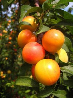 2 GOLDEN APRICOT TREES SEEDLINGS 10-12 INCH FLOWERING FRUIT TREES PLANTS SALE