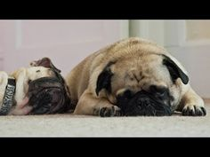 Snoring Pugs | Cute Pugs Snoring Compilation - YouTube