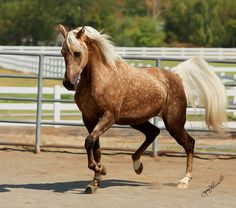 I love dark Palominos!  This might even be considered a Chocolate palomino. And those dapples...  oh so beautiful!