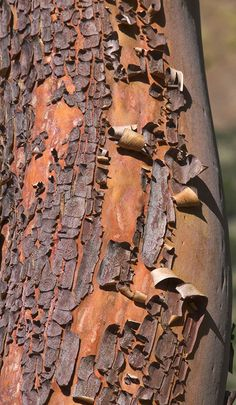 Peeling Bark of a Madrone