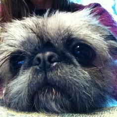 Mia, our Brussels Griffon