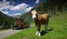 Tschu Tschu Bahn im Pöllatal Cow, Holiday, Summer, Animals, Bahn, Hiking With Kids, Ski Trips, Kids Fun, Summer Vacations