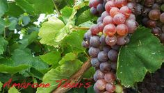 Molinara Grape - used in Valpolicella and Amarone wines