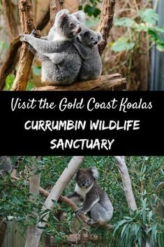 During your visit to the Gold Coast, call into Currumbin Wildlife Sanctuary to spend time with Australia's native animals. Get up close with koalas, kangaroos and many more | #currumbinwildlifesanctuary #goldcoast #australia #koalas #kangaroos