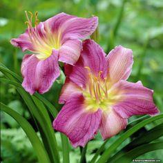 Purple Daylily Prairie Blue Eyes, Hemerocallis, Daylily