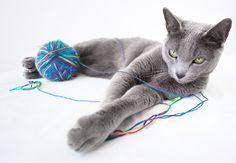 azul ruso - Mi raza predilecta de felinos