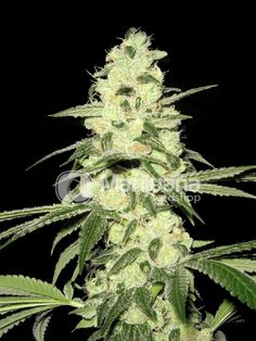 Buy Master Kush Feminized seeds online at the Marijuana Seedshop. Yield up to 500 grams a square meter! Master Kush Feminized marijuana seeds are 80% Indica and 20% Sativa. Master Kush Feminized buds will have eventually 18% THC and 0.37% CBD. these Master Kush Feminized seeds has a flowering time of 9 weeks.