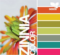 zinnia color by design seeds
