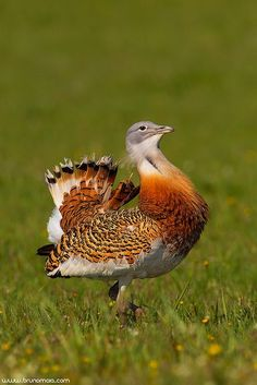 The Great Bustard Of Hungary Is The Heaviest Flying Bird
