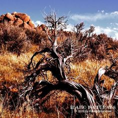 A large Xeric Big Sagebrush (Artemisia tridentata) sprawls across a hillside in the desert. #sagebrush #desert #landscape #photography #Idaho #adventure #exploremore #hike #bike #climb #hikelife #wanderlust #staywild
