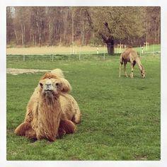 Mit Kamelen im Mangfalltal reiten - mal was anderes!