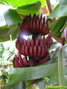 *Red Dacca Banana