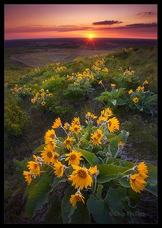 Palouse Balsam Root   Flickr - Photo Sharing!