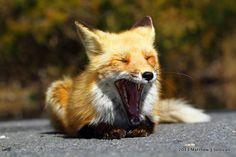 Red Fox Yawning (by MattSullivan)