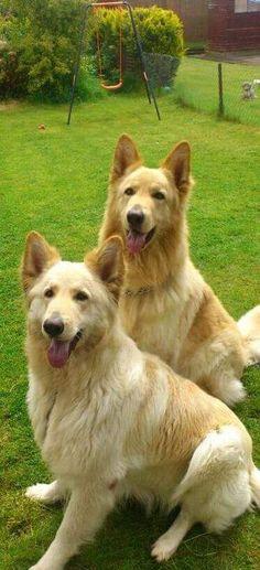 Champagne cream pedigree German Shepherd puppies   Gillingham, Dorset   Pets4Homes