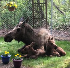 Alaska, Moose Pictures, Animal Pictures, Baby Animals, Cute Animals, Wild Animals, Aggressive Animals, Camping With A Baby, Moose