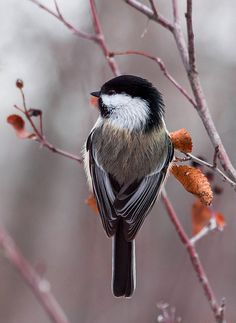 Black-capped chickadee - Extremely agile and quick, the chickadee can feed in any position, including upside down. Because of their high metabolism, chickadees spend nearly every daylight moment gleaning food. Pretty Birds, Love Birds, Beautiful Birds, Animals Beautiful, Birds 2, Small Birds, Little Birds, Colorful Birds, Black Capped Chickadee