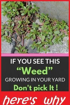 If You see this weed growing in your yard dont pick it! heres why Health O Clock ! If You see this weed growing in your yard dont pick it! heres why Health O Clock ! Herbal Remedies, Home Remedies, Natural Remedies, Holistic Remedies, Medicinal Plants, Poisonous Plants, Kraut, Alternative Medicine, Organic Gardening