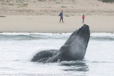 """Humpback whale surprises dog on beach Foraging mammals pursue anchovies within 50 yards of shore in Monterey Bay, allowing for unique photo opportunities; """"We've been so spoiled lately'"""