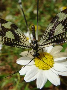 Thread Lacewing (Nemoptera sinuata) is a Palearctic genus of insects of the family Nemopteridae or spoonwings.