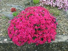 Alpine plants for a rockery - Phlox douglasii 'Red Admiral'