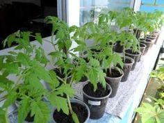 IF sazenice rajčat protáhl Tomato Seedlings, Vegetable Garden, Flora, Vegetables, Creative, Gardening, Garden Ideas, Base, Plants