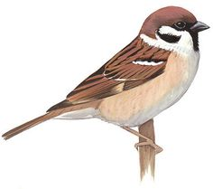 Explore collection of Simple Sparrow Drawing Sparrow Drawing, Sparrow Art, Bird Drawings, Animal Drawings, Beautiful Birds, Animals Beautiful, Vogel Illustration, Scientific Drawing, House Sparrow