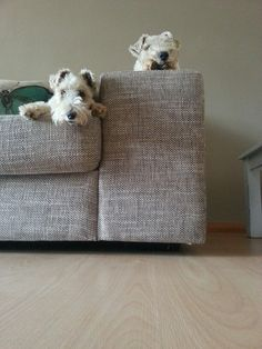 Wirehair Terriers Miss P and Oreo. You want style? You want class /