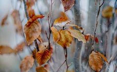 Картинка Первый снег на листьях