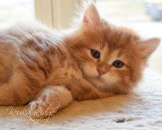 Keuka Ridge Cadence - Red Siberian Tabby Kitten  #siberiankitten #siberiancats #keukaridgesiberians Siberian Forest Cat, Siberian Kittens, Cats, Animals, Gatos, Animales, Kitty Cats, Animaux, Animal