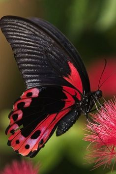 Black and Red Butterfly (butterfly,flowers,macro,photography,red,red & black,beautiful,insects,nature,green,black)