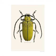 Graham and Green - Insect Print - Celosterna Pollinosa Sulphura