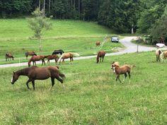 Unsere Stuten- und Fohlengruppe. Hier wachsen die Fohlen jeden Alters zum Jungpferd heran. www.americanhorsepoint.com Quarter Horses, Mustang, American, Moose, Animals, Western Saddles, Horse And Rider, Baby Horses, Training