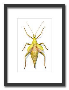 Insectframes.com - Framed butterflies, beetles and insect displays - Heteropteryx dilatata