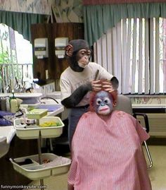 Monkeys are Barbers