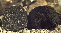 We are now shipping great black winter truffles (Tuber Melanosporum), also known as Périgord or Norcia truffles, directly from the Apennine mountains in Central Italy to the UK and all over Europe. Top quality at a very reasonable price. Contact us to place your order. +44 (0) 777 088 2115 [...]