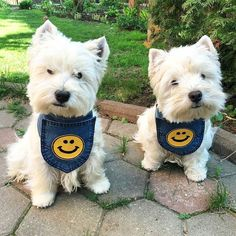 Check the link in @westiemoments profile and choose your Westie or hoodie! International shipping! To be repostedStart to follow usChoose your best photoTag us #westiemoments Reposted from: @westies_boatsman_and_henry by westiemoments