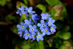 Forget Me Not Flower Meaning | Flower Meaning