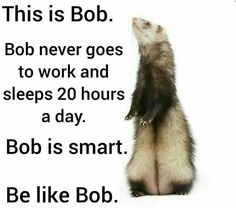 Be like Bob😂 Ferrets Care, Baby Ferrets, Funny Ferrets, Ferret Toys, Pet Ferret, Animals And Pets, Cute Animals, Cute Creatures, Wtf Funny