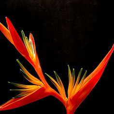 flower, red, close