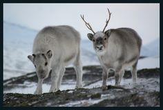 Reindeer - Norway