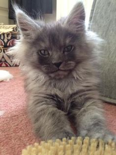 Thor Maine Coon, I love the smile!