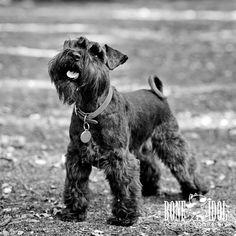 Professional dog photography in South London by professional dog photographer Yvonne Blume for Bone Idol Dog Photography featuring black Miniature Schnauzer Frieda. Black Schnauzer, Giant Schnauzer, Schnauzer Puppy, Schnauzers, Schnauzer Grooming, Tallest Dog, Miniature Schnauzer Puppies, Dog Photography, Beautiful Dogs