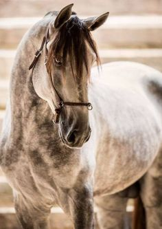 Gorgeous lusitano horse