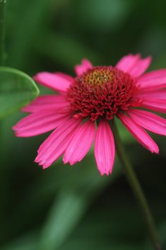 """Paul on Twitter: """"Echinacea 'Delicious Candy', it just keeps giving!… """""""
