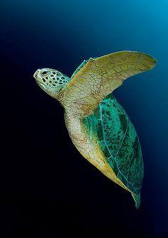 by Leander Wiseman  <3 sea turtles are beautiful