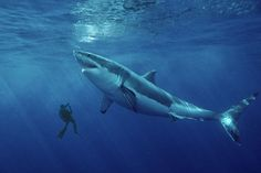 Biggest Great White Shark in History | ... record-breaking 50ft great white shark off the coast of Ireland